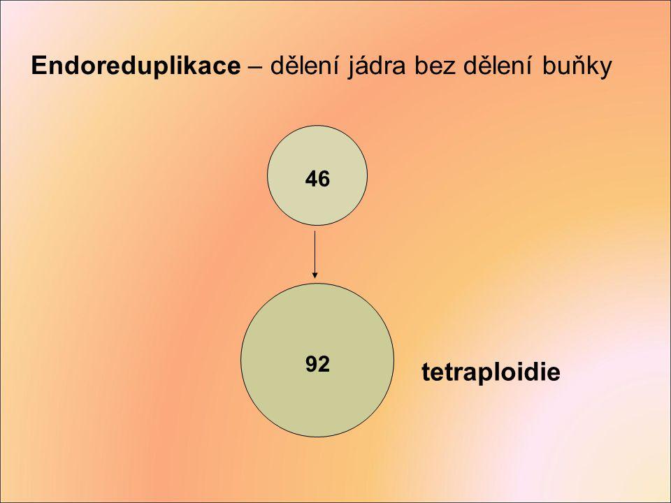 Endoreduplikace – dělení jádra bez dělení buňky