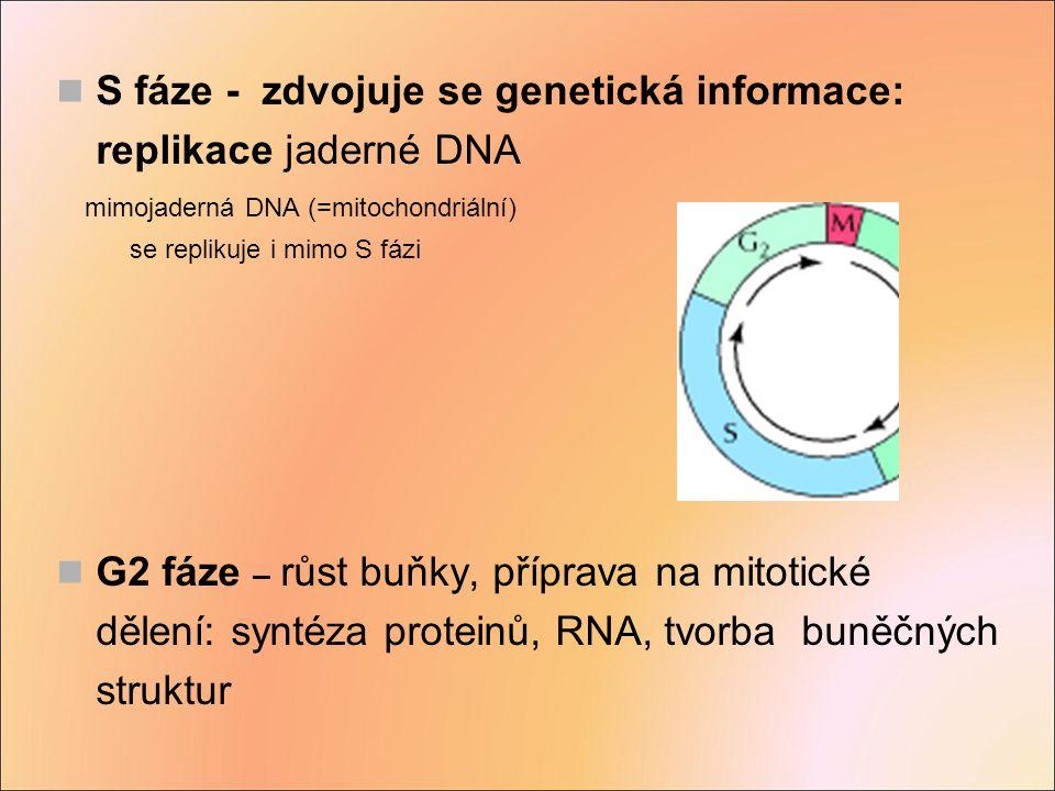 S fáze - zdvojuje se genetická informace: replikace jaderné DNA