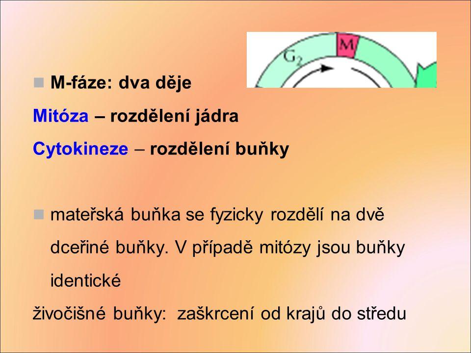M-fáze: dva děje Mitóza – rozdělení jádra. Cytokineze – rozdělení buňky.
