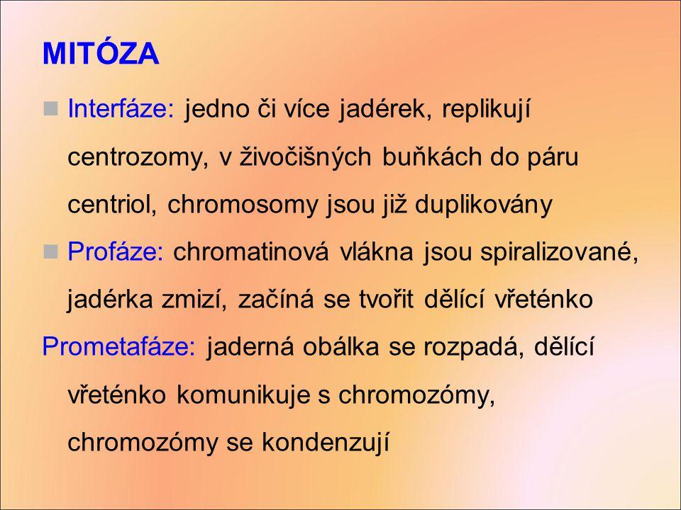 MITÓZA Interfáze: jedno či více jadérek, replikují centrozomy, v živočišných buňkách do páru centriol, chromosomy jsou již duplikovány.