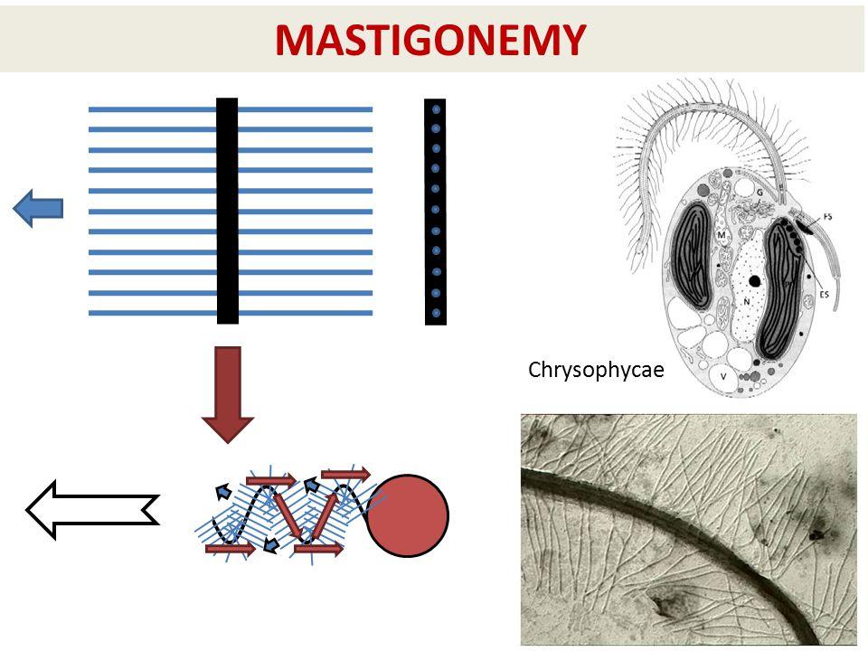 MASTIGONEMY Chrysophycae