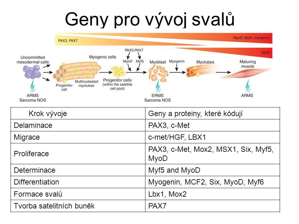 Geny pro vývoj svalů Krok vývoje Geny a proteiny, které kódují