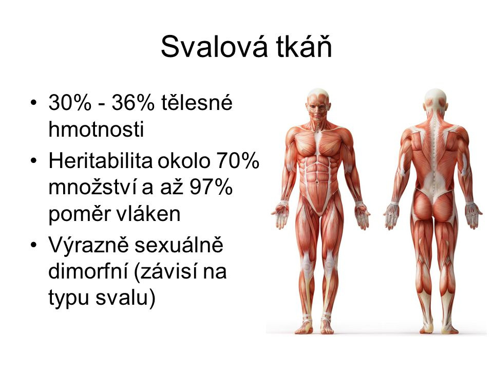 Svalová tkáň 30% - 36% tělesné hmotnosti