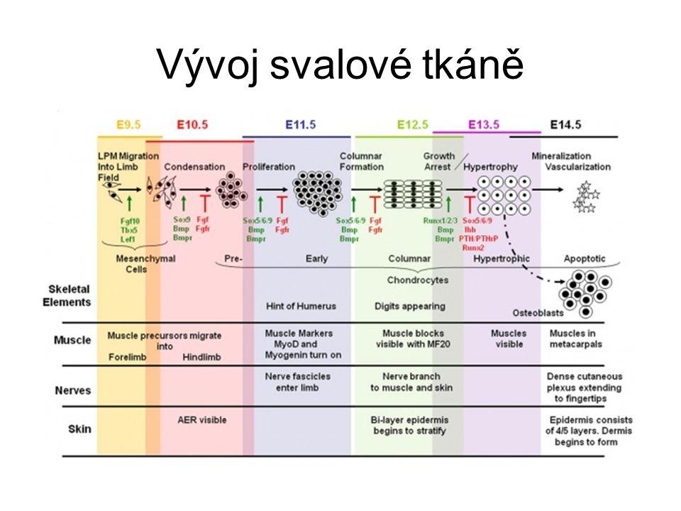 Vývoj svalové tkáně