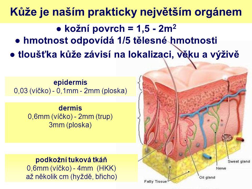 ● kožní povrch = 1,5 - 2m2 ● hmotnost odpovídá 1/5 tělesné hmotnosti