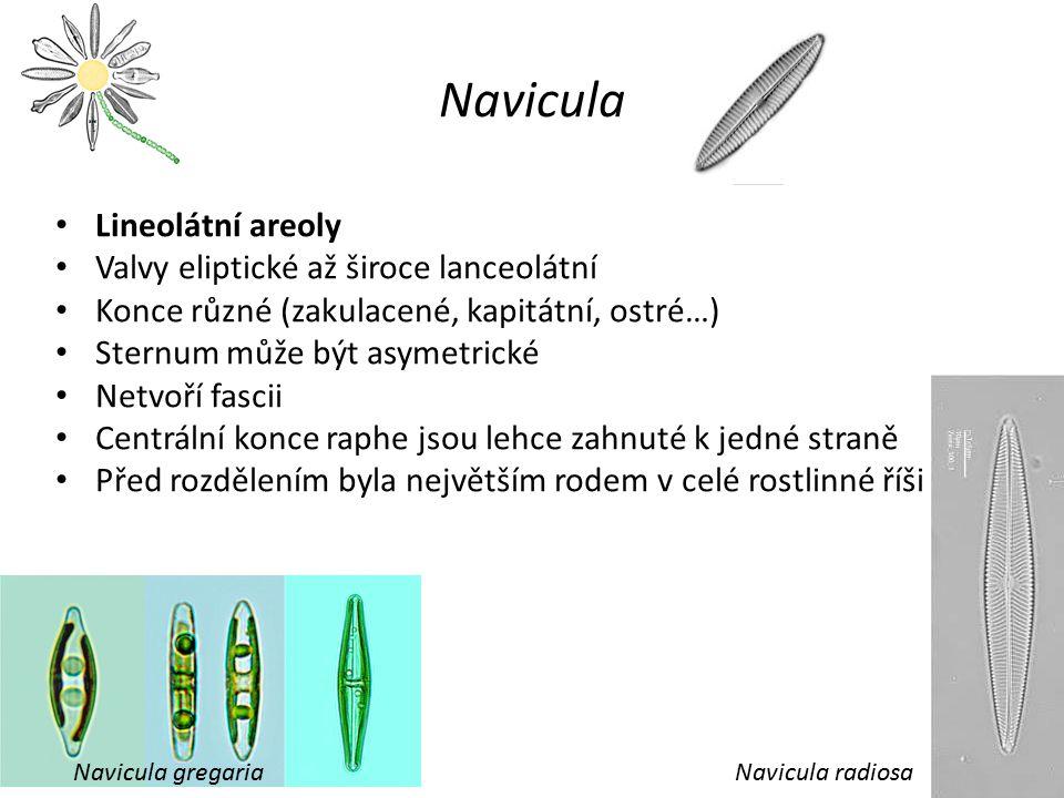 Navicula Lineolátní areoly Valvy eliptické až široce lanceolátní