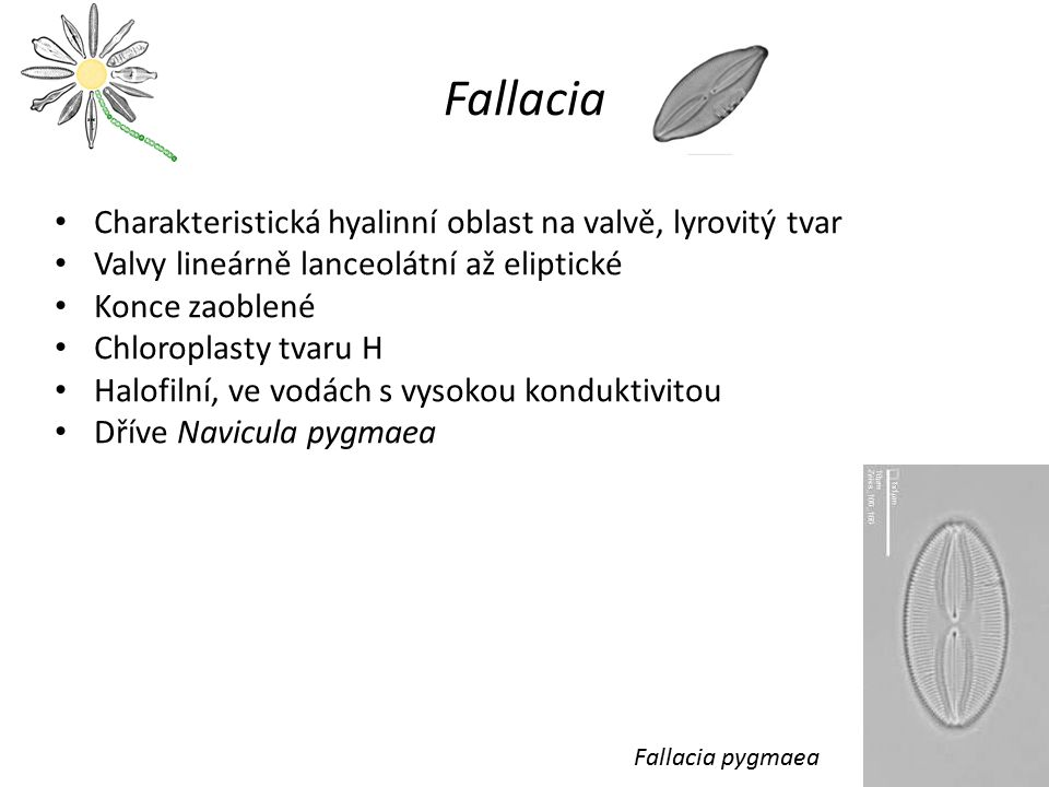 Fallacia Charakteristická hyalinní oblast na valvě, lyrovitý tvar