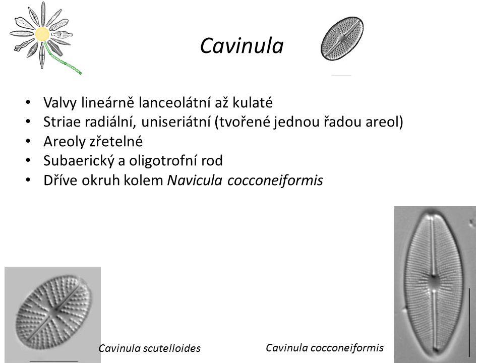 Cavinula Valvy lineárně lanceolátní až kulaté
