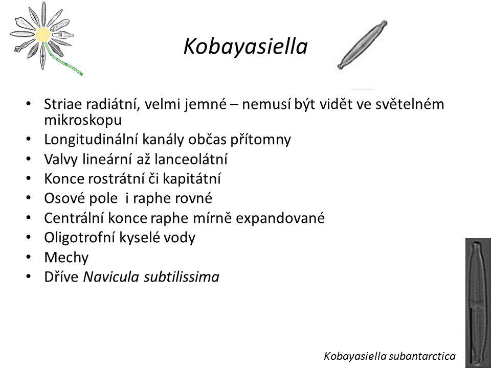 Kobayasiella Striae radiátní, velmi jemné – nemusí být vidět ve světelném mikroskopu. Longitudinální kanály občas přítomny.