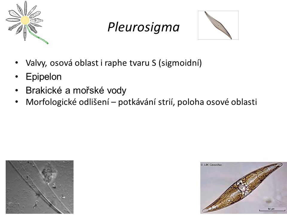 Pleurosigma Valvy, osová oblast i raphe tvaru S (sigmoidní) Epipelon