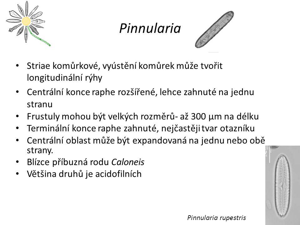 Pinnularia Striae komůrkové, vyústění komůrek může tvořit longitudinální rýhy. Centrální konce raphe rozšířené, lehce zahnuté na jednu stranu.