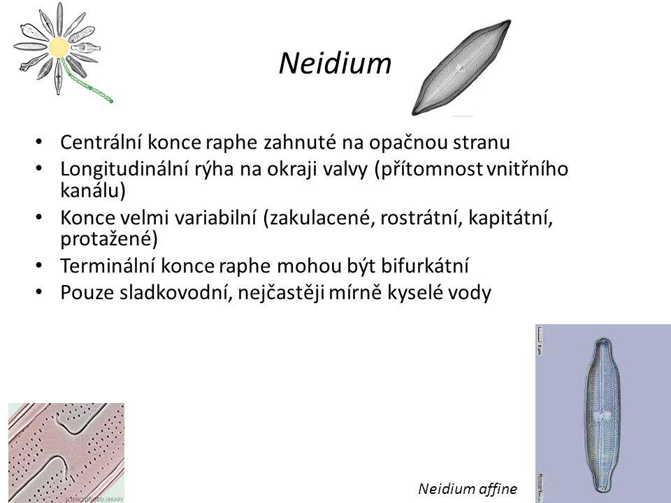 Neidium Centrální konce raphe zahnuté na opačnou stranu