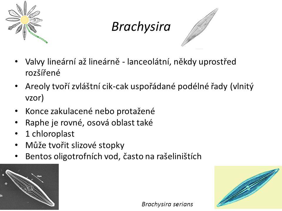 Brachysira Valvy lineární až lineárně - lanceolátní, někdy uprostřed rozšířené. Areoly tvoří zvláštní cik-cak uspořádané podélné řady (vlnitý vzor)