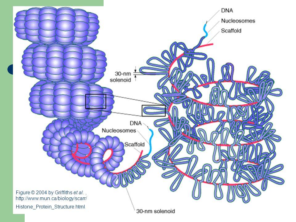 Figure © 2004 by Griffiths et al. , http://www. mun