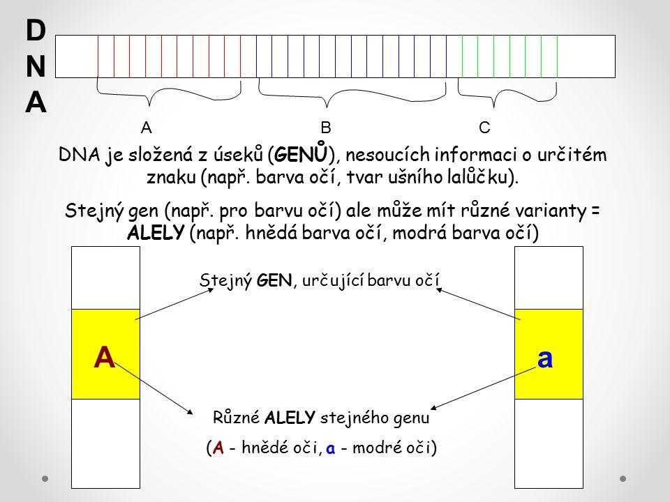 DNA A. B. C. DNA je složená z úseků (GENŮ), nesoucích informaci o určitém znaku (např. barva očí, tvar ušního lalůčku).