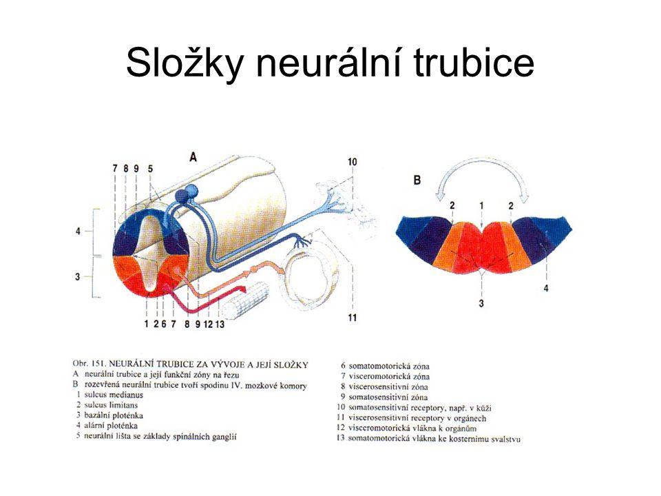 Složky neurální trubice