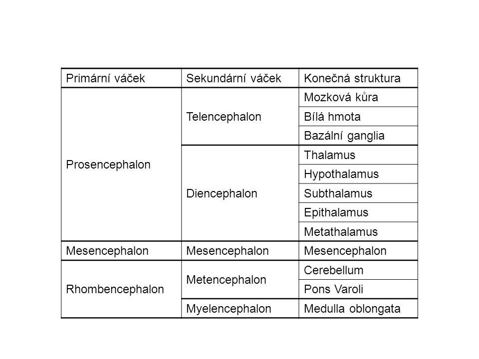 Primární váček Sekundární váček. Konečná struktura. Prosencephalon. Telencephalon. Mozková kůra.