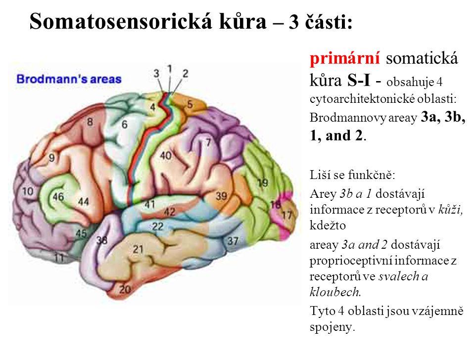 Somatosensorická kůra – 3 části: