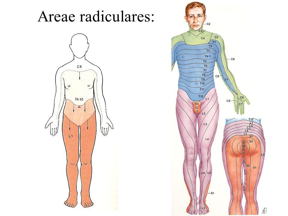 Areae radiculares: