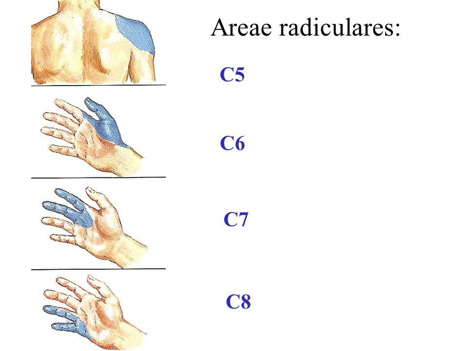 Areae radiculares: C5 C6 C7 C8