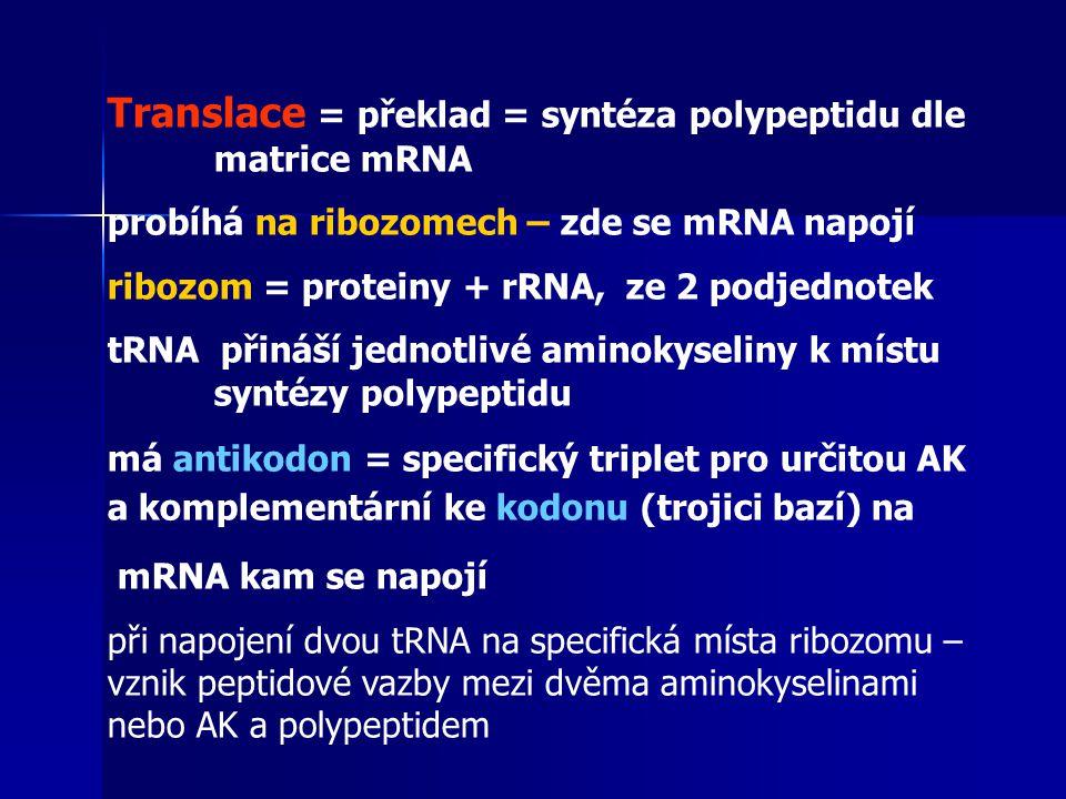 Translace = překlad = syntéza polypeptidu dle matrice mRNA