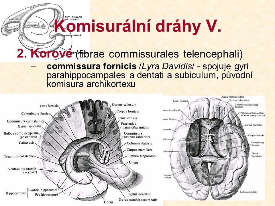 Komisurální dráhy V. 2. Korové (fibrae commissurales telencephali)