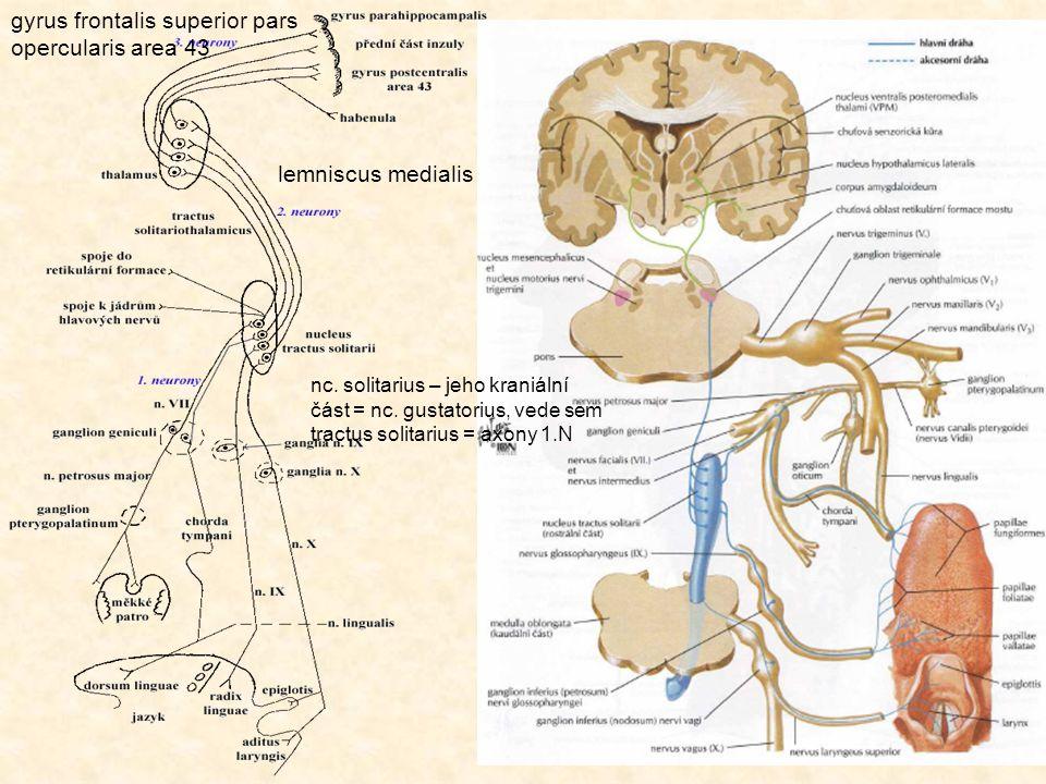 gyrus frontalis superior pars opercularis area 43