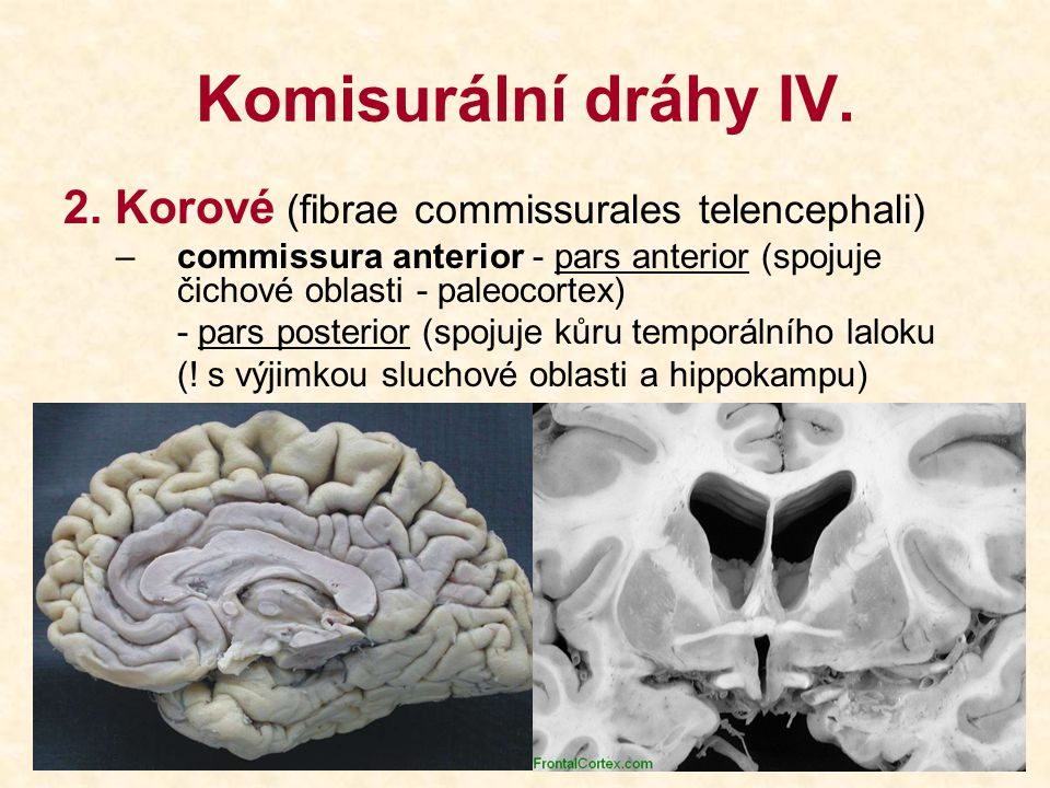 Komisurální dráhy IV. 2. Korové (fibrae commissurales telencephali)