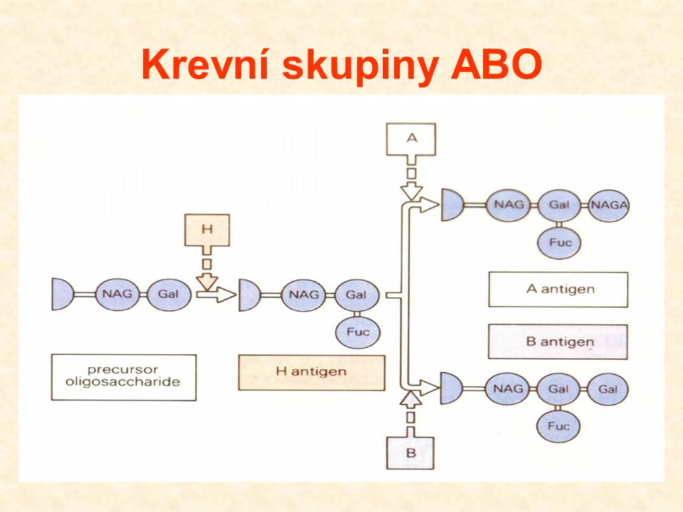 Krevní skupiny ABO 28