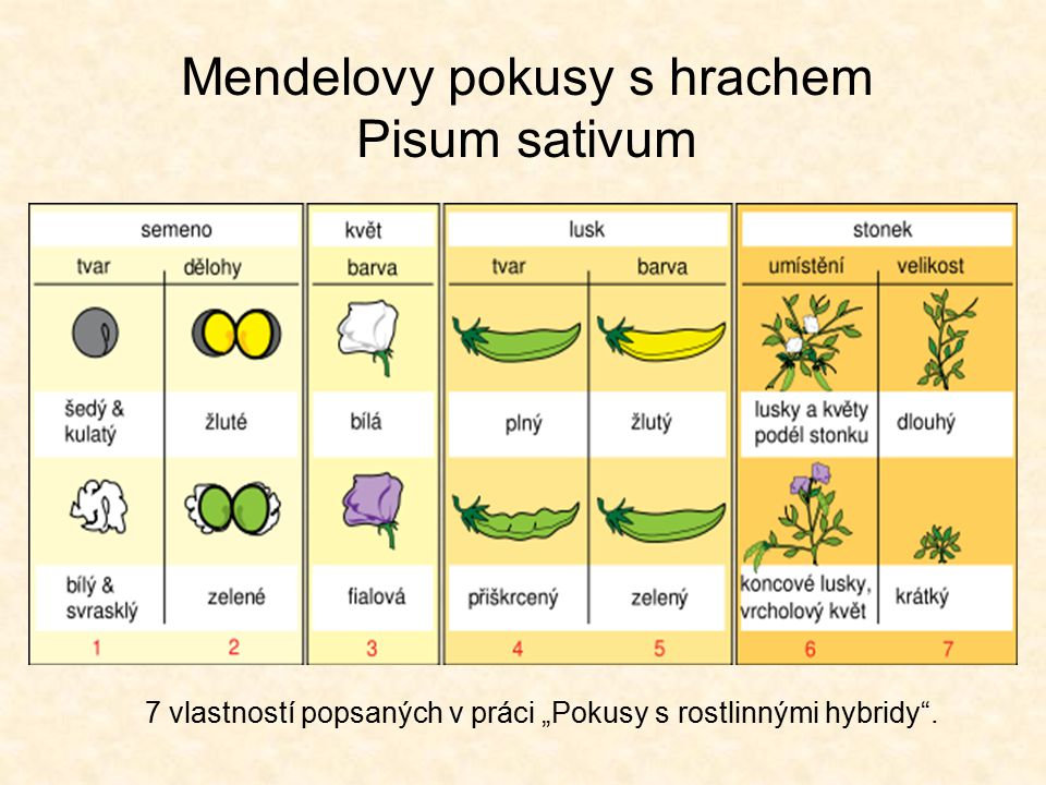 Mendelovy pokusy s hrachem Pisum sativum
