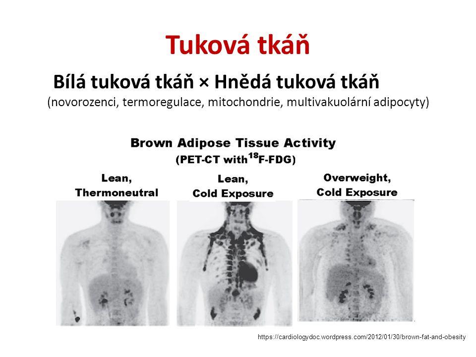 Tuková tkáň Bílá tuková tkáň × Hnědá tuková tkáň (novorozenci, termoregulace, mitochondrie, multivakuolární adipocyty)
