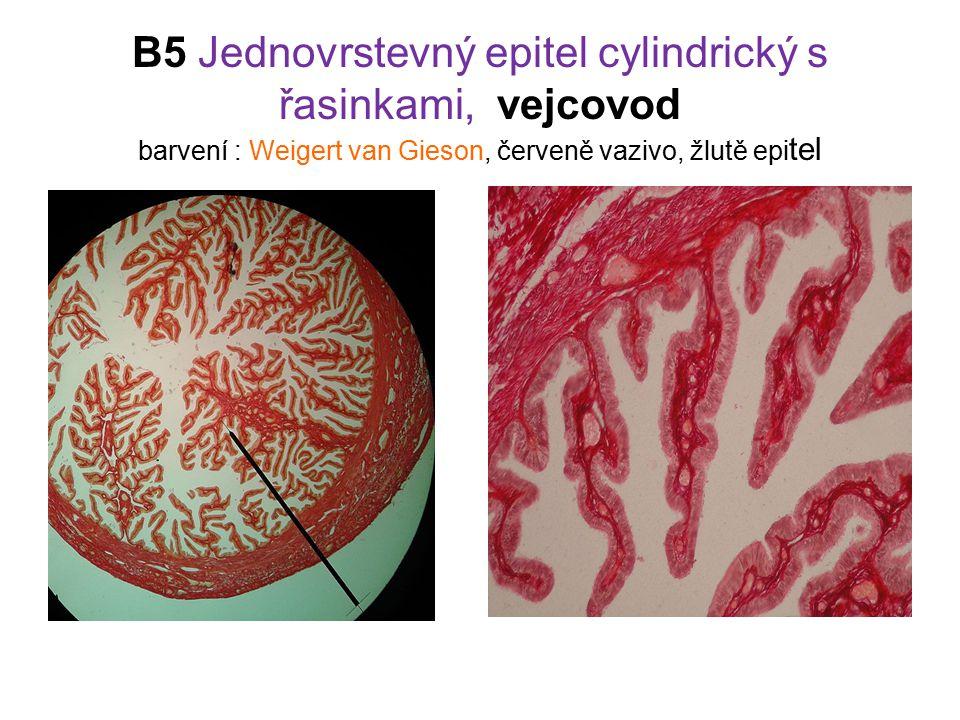 B5 Jednovrstevný epitel cylindrický s řasinkami, vejcovod barvení : Weigert van Gieson, červeně vazivo, žlutě epitel
