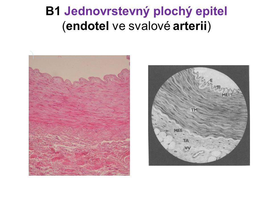 B1 Jednovrstevný plochý epitel (endotel ve svalové arterii)