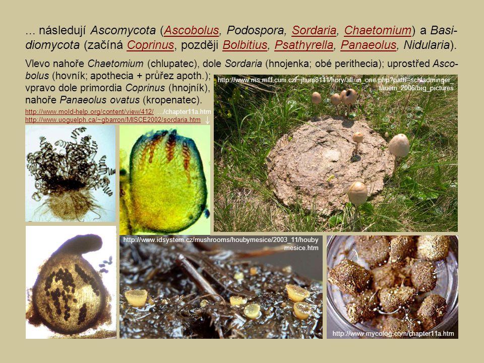 ... následují Ascomycota (Ascobolus, Podospora, Sordaria, Chaetomium) a Basi-diomycota (začíná Coprinus, později Bolbitius, Psathyrella, Panaeolus, Nidularia).
