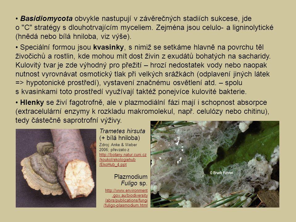 • Basidiomycota obvykle nastupují v závěrečných stadiích sukcese, jde o C stratégy s dlouhotrvajícím myceliem. Zejména jsou celulo- a ligninolytické (hnědá nebo bílá hniloba, viz výše).