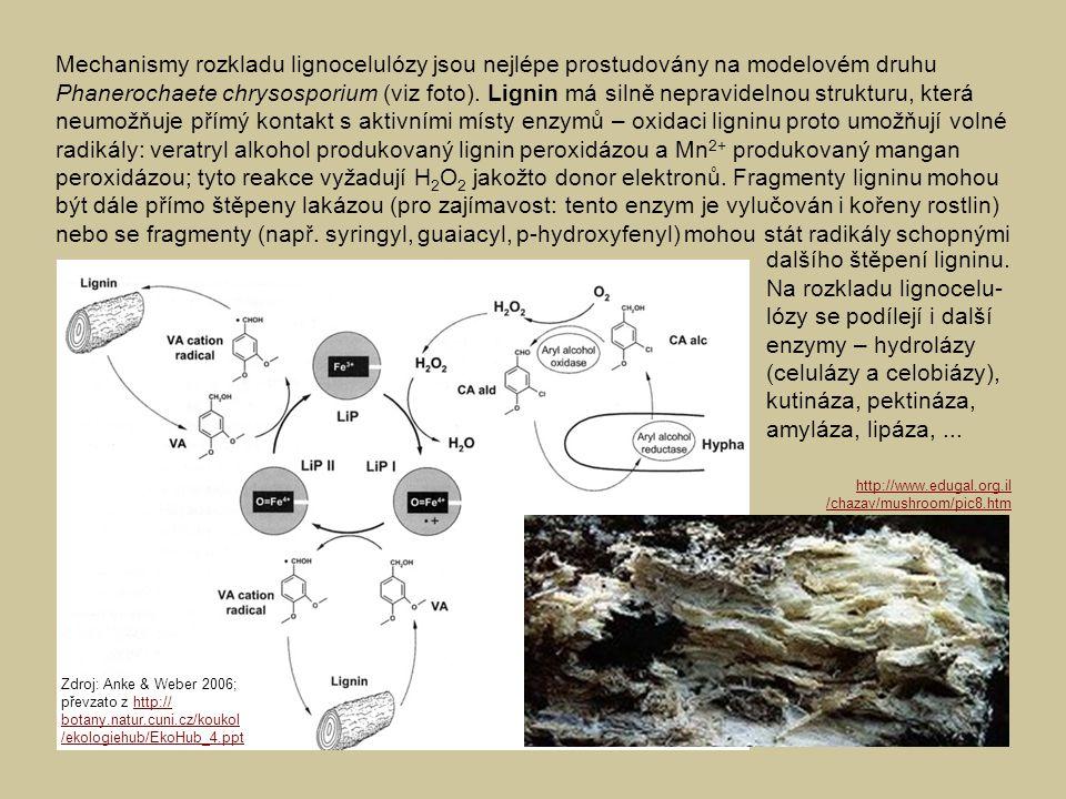 Mechanismy rozkladu lignocelulózy jsou nejlépe prostudovány na modelovém druhu Phanerochaete chrysosporium (viz foto). Lignin má silně nepravidelnou strukturu, která neumožňuje přímý kontakt s aktivními místy enzymů – oxidaci ligninu proto umožňují volné radikály: veratryl alkohol produkovaný lignin peroxidázou a Mn2+ produkovaný mangan peroxidázou; tyto reakce vyžadují H2O2 jakožto donor elektronů. Fragmenty ligninu mohou být dále přímo štěpeny lakázou (pro zajímavost: tento enzym je vylučován i kořeny rostlin) nebo se fragmenty (např. syringyl, guaiacyl, p-hydroxyfenyl) mohou stát radikály schopnými