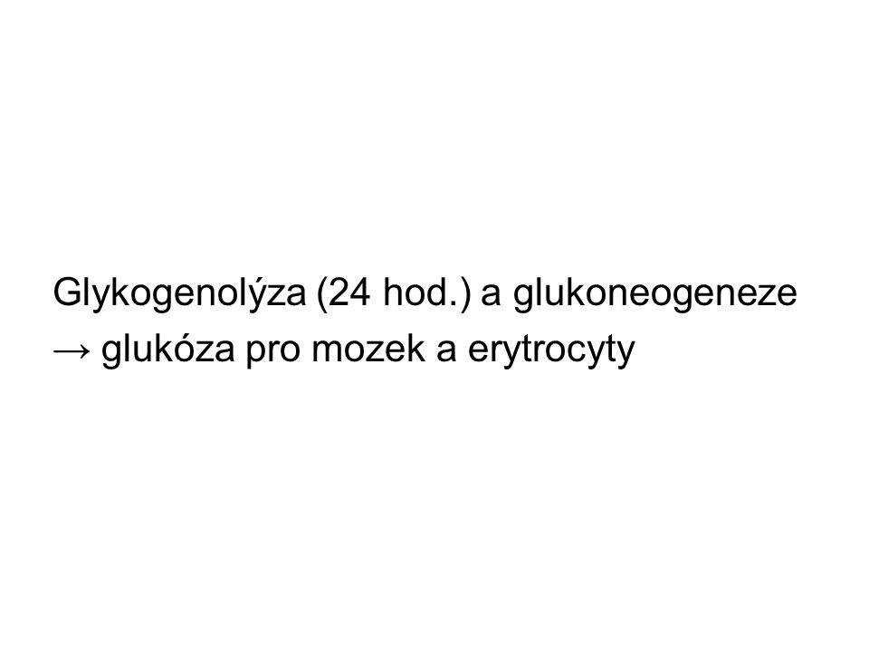 Glykogenolýza (24 hod.) a glukoneogeneze