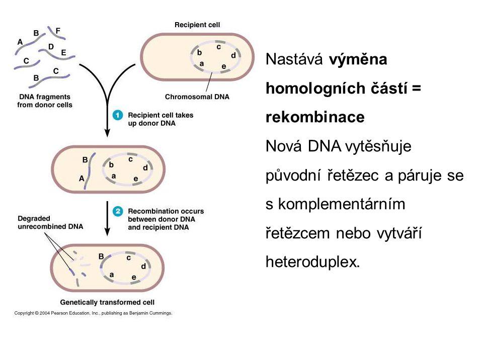 Nastává výměna homologních částí = rekombinace