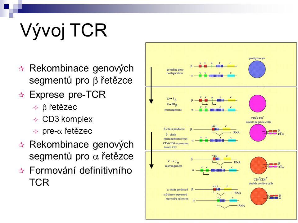 Vývoj TCR Rekombinace genových segmentů pro  řetězce Exprese pre-TCR