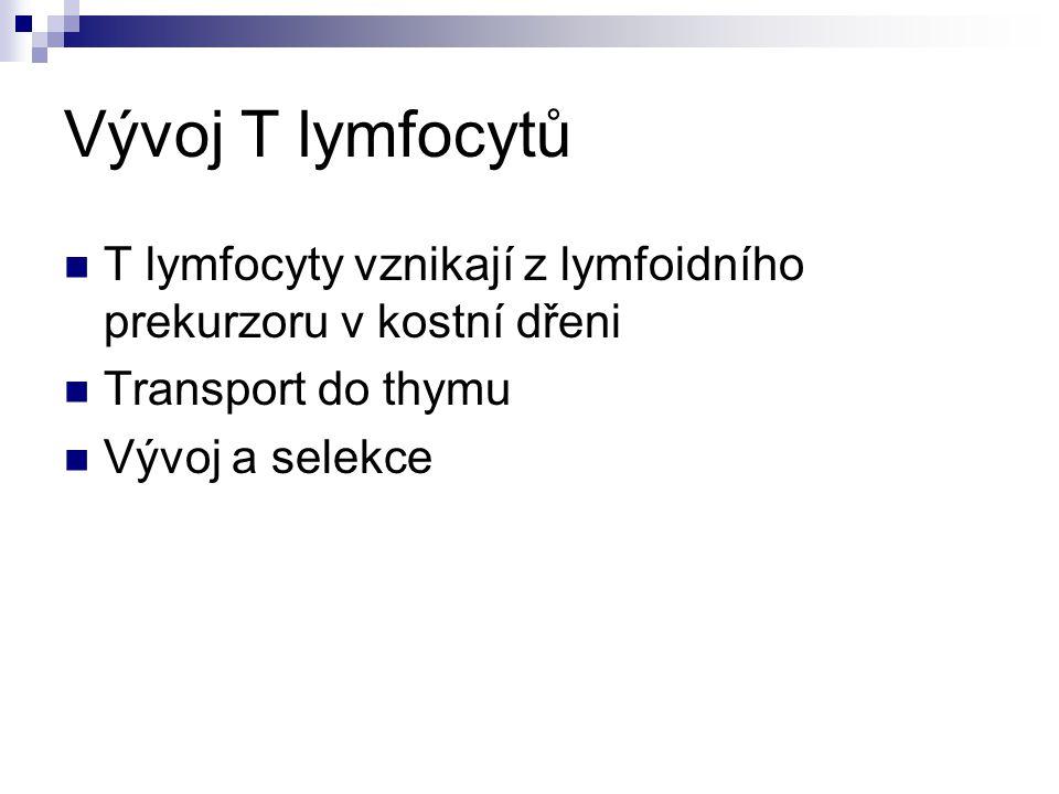 Vývoj T lymfocytů T lymfocyty vznikají z lymfoidního prekurzoru v kostní dřeni. Transport do thymu.