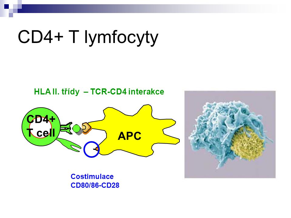 CD4+ T lymfocyty CD4+ T cell APC HLA II. třídy – TCR-CD4 interakce