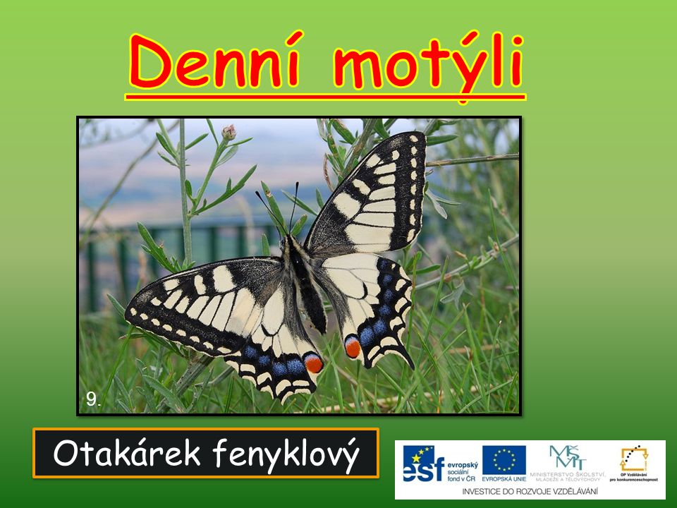 Denní motýli 9. Otakárek fenyklový