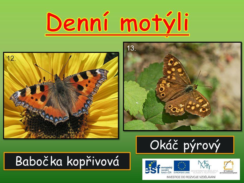 Denní motýli 13. 12. Okáč pýrový Babočka kopřivová