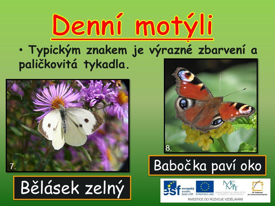 Denní motýli Bělásek zelný Babočka paví oko