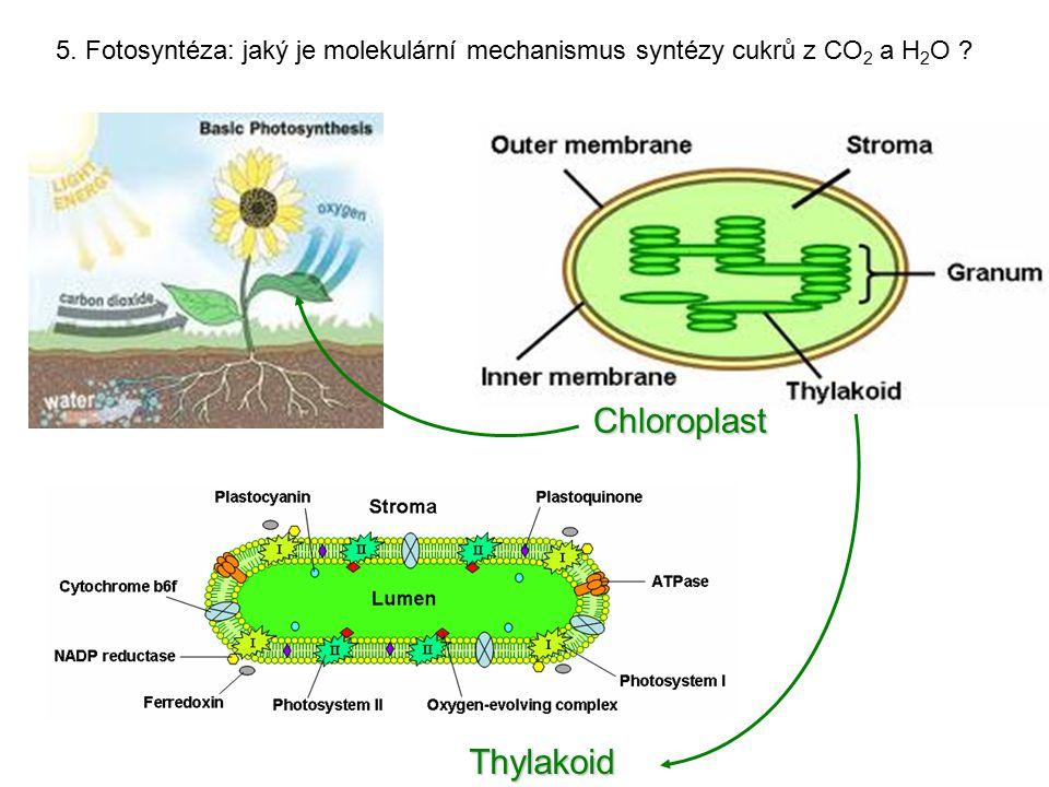 Chloroplast Thylakoid