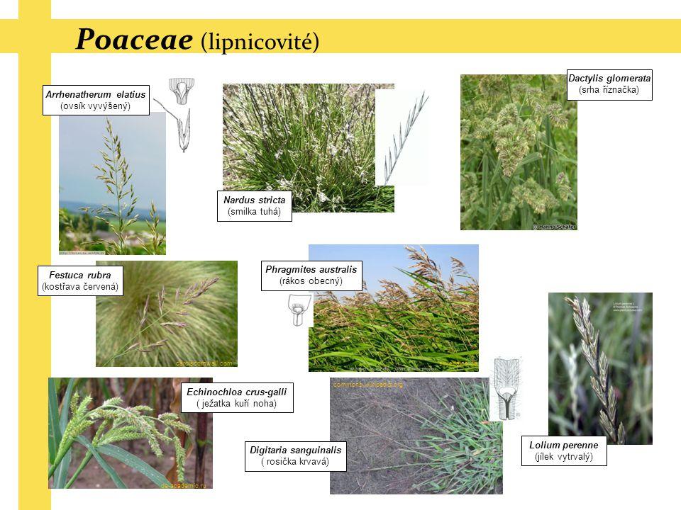 Poaceae (lipnicovité)