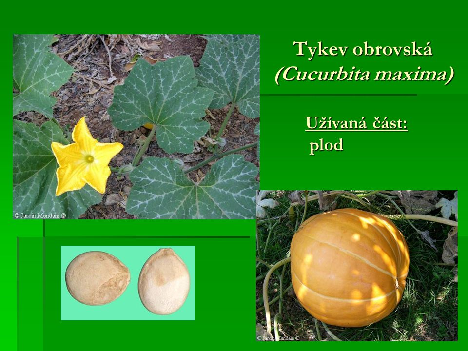 Tykev obrovská (Cucurbita maxima)