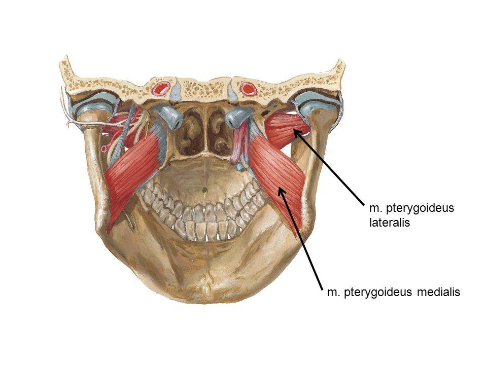 m. pterygoideus lateralis