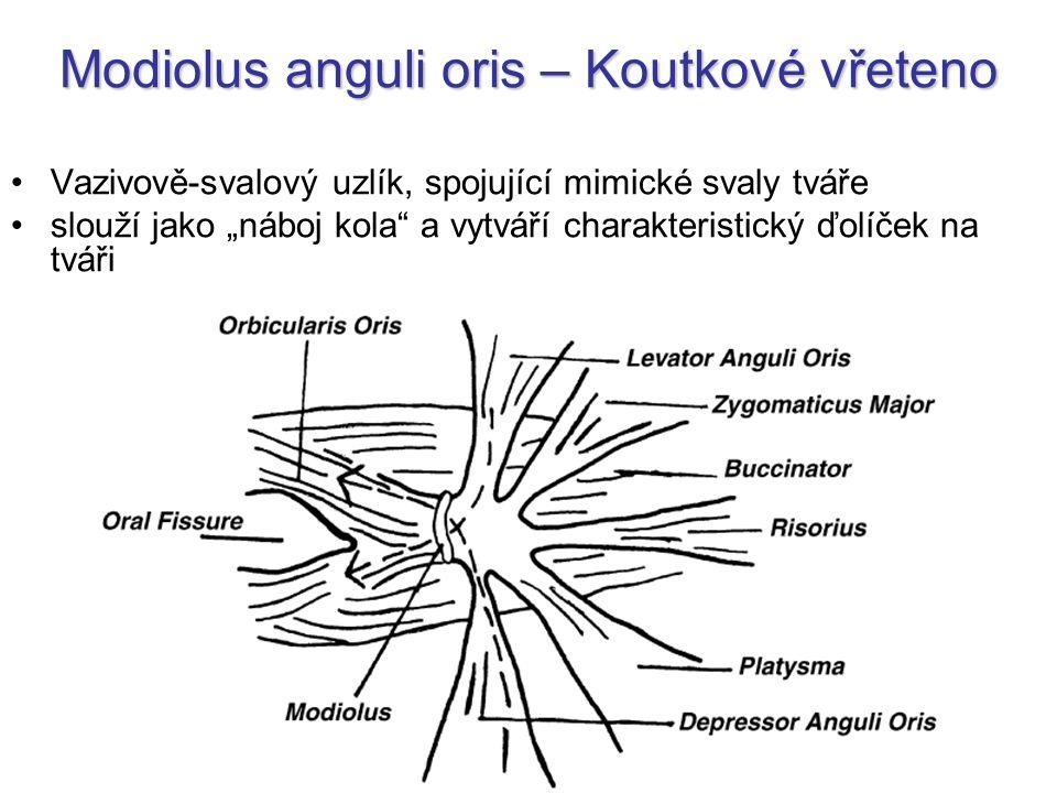 Modiolus anguli oris – Koutkové vřeteno