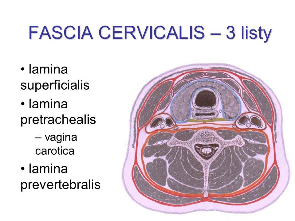 FASCIA CERVICALIS – 3 listy